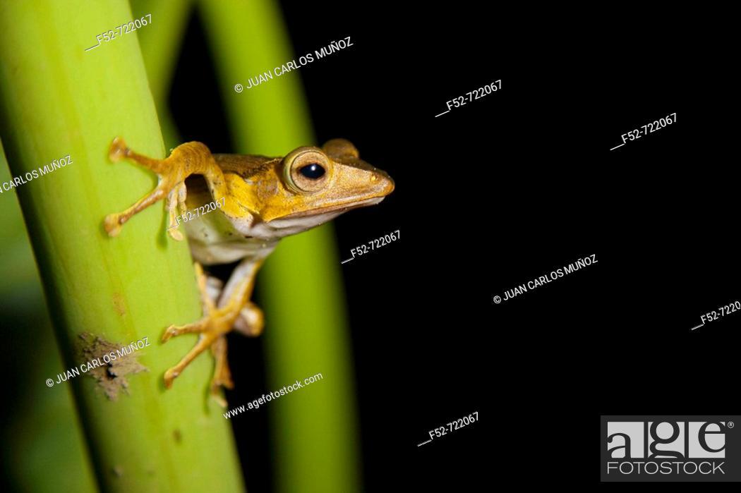 Stock Photo: Borneo Eared Frog (Polypedates otilophus), Danum Valley Conservation Area. Sabah, Borneo, Malaysia.