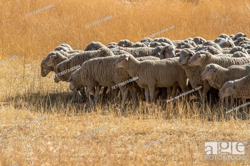 Stock Photo: Flock of sheep in field in Hailey, Idaho, USA.