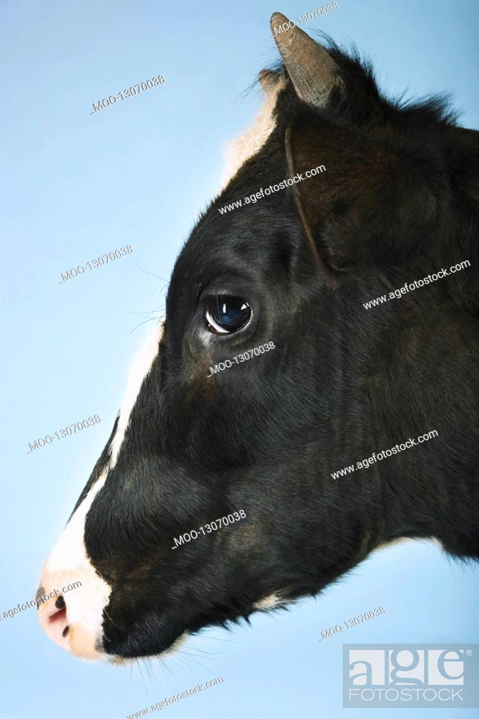 Stock Photo: Cow against blue background close-up of head side view.