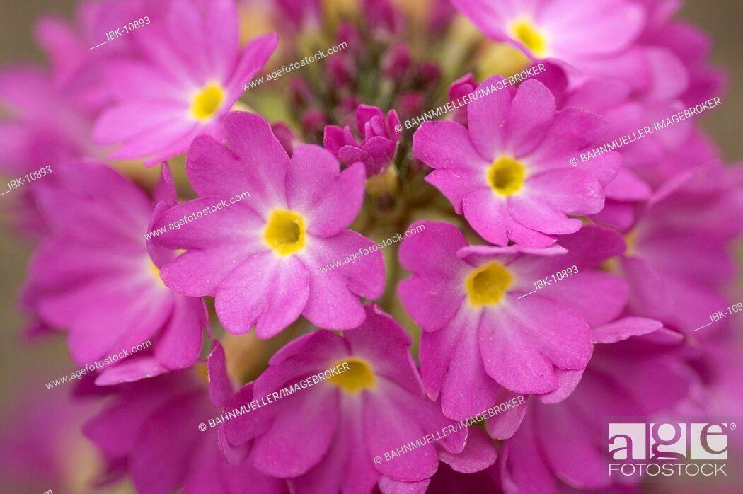 Imagen: Pink blossom flower of the primula detail.