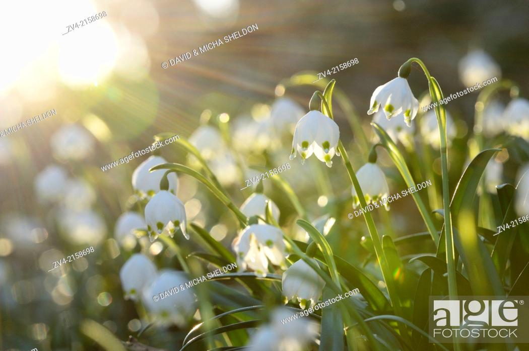 Stock Photo: Landscape of Spring Snowflake (Leucojum vernum) blossoms in a forest on a sunny evening in spring.