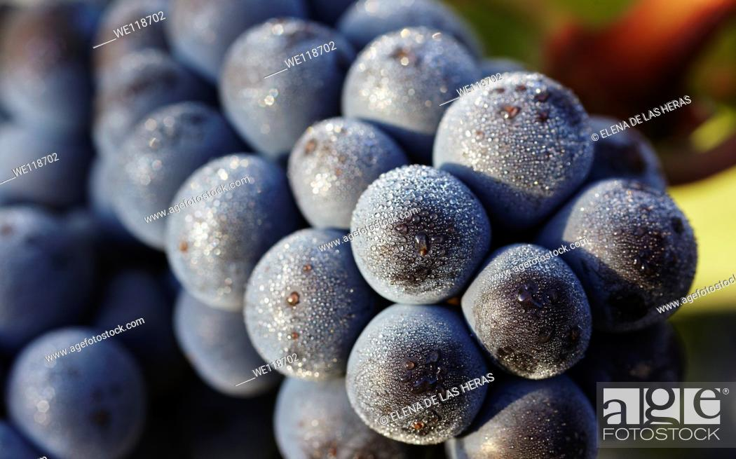 Stock Photo: Tempranillo grapes closeup  Rioja alavesa wine route  Alava  Basque country  Spain.