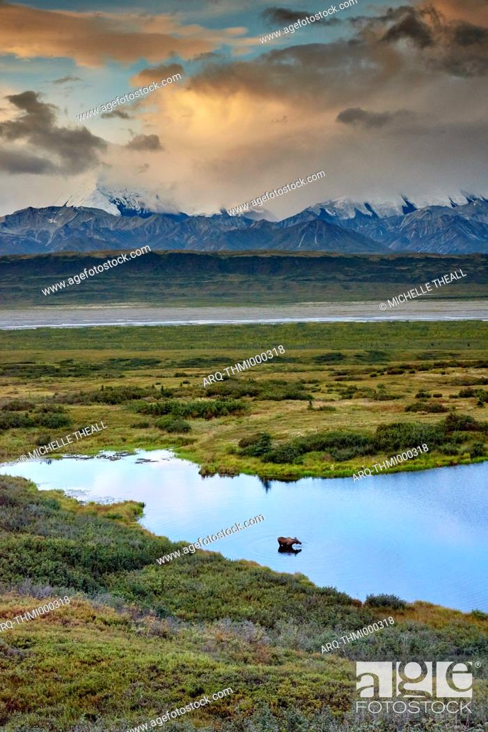 Photo de stock: Distant view of a moose (Alces alces) wading in a kettle pond, Denali National Park, Alaska, USA.
