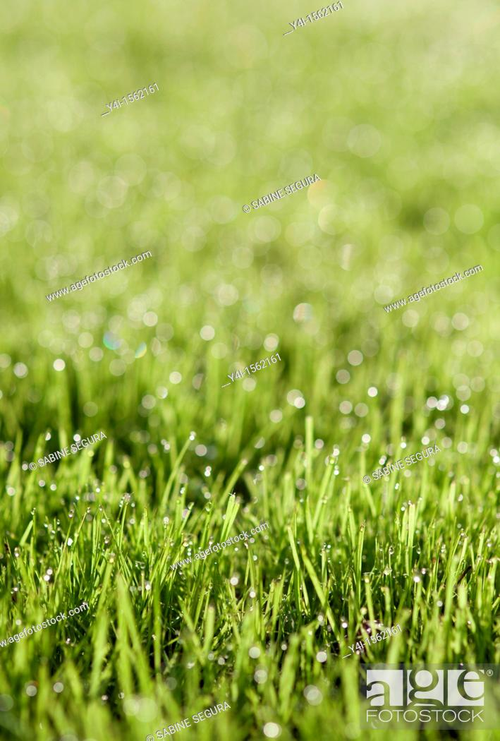Stock Photo: Dewdrops on grass  France.