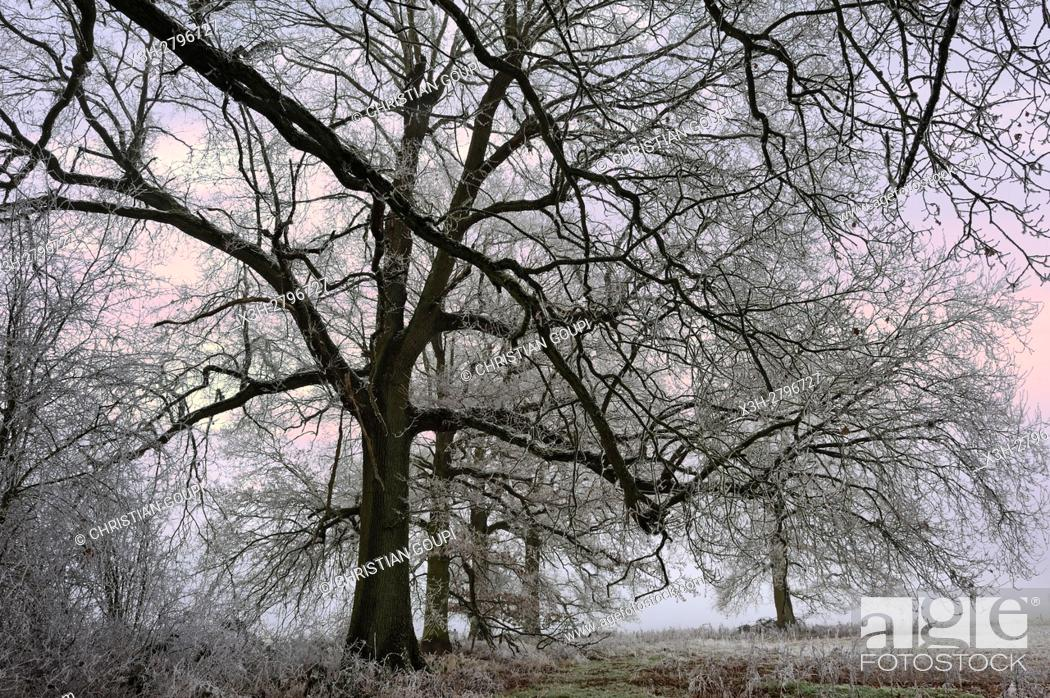 Stock Photo: covered in frost oak trees in a field on the edge of the Forest of Rambouillet, Haute Vallee de Chevreuse Regional Natural Park, Yvelines department.