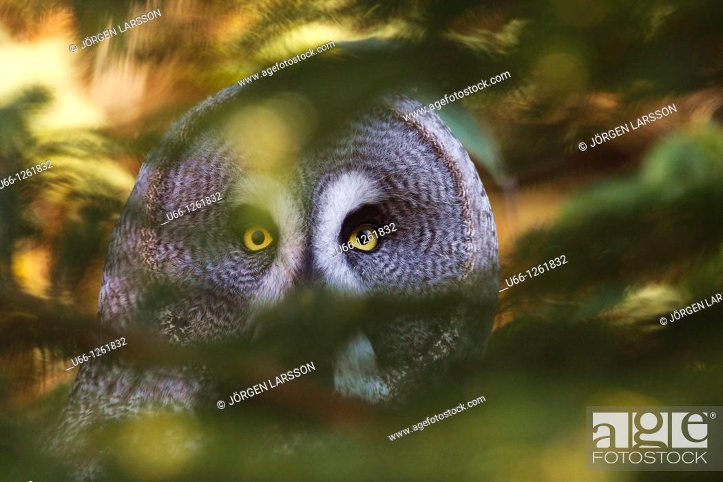 Stock Photo: Great grey Owl Strix nebulosa Värland Sweden.