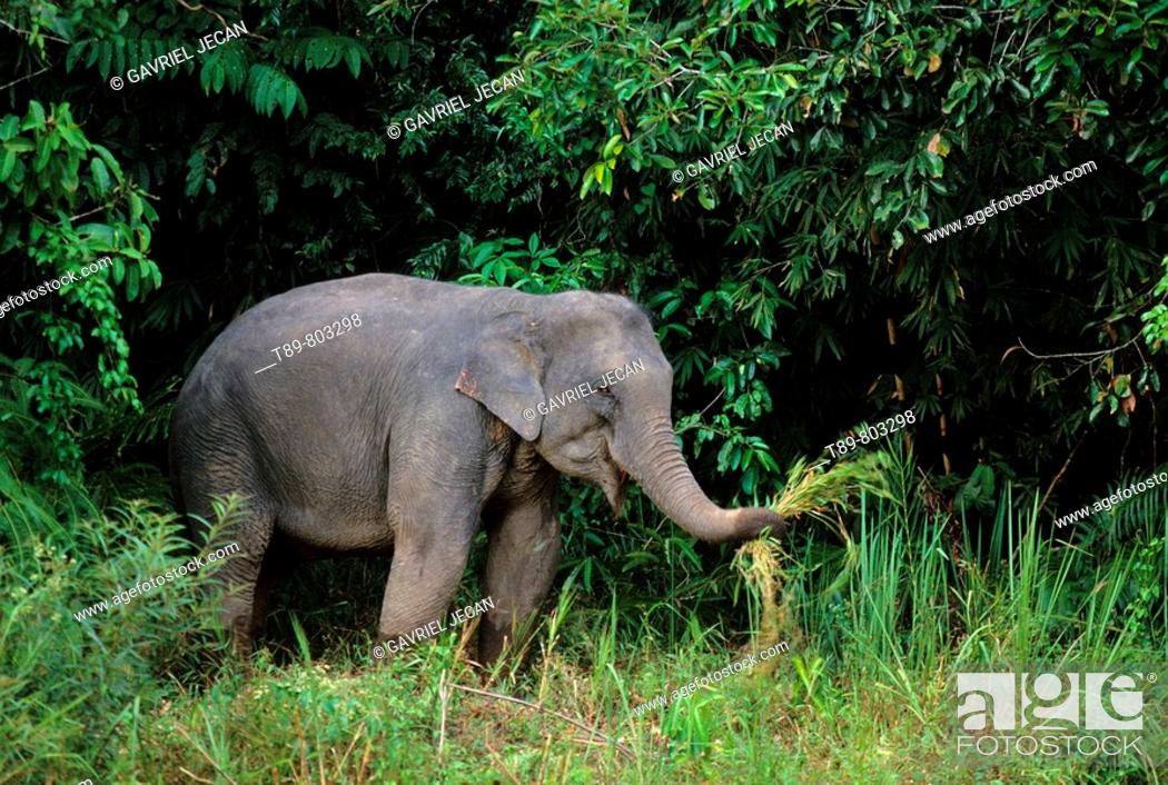 Stock Photo: Asian Elephant Elephas maximus.