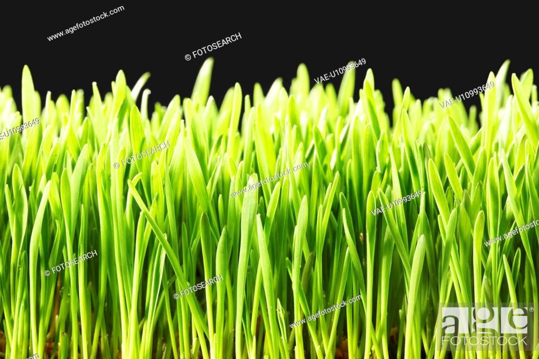 Stock Photo: Wheatgrass close-up.
