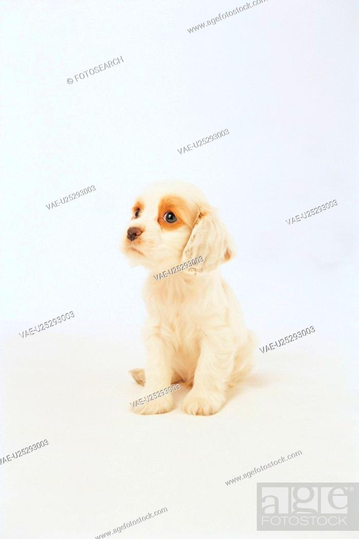 Stock Photo: domestic animal, 35mm, americancockerspaniel, cockerspaniel, spaniel, canine, film.