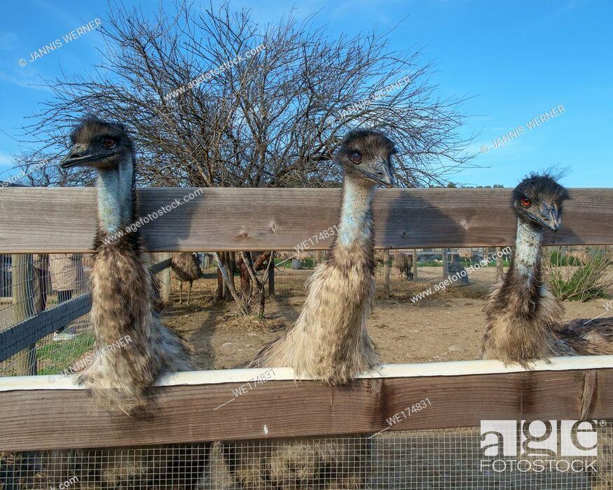 Stock Photo: Three emus at an ostrich farm in California.