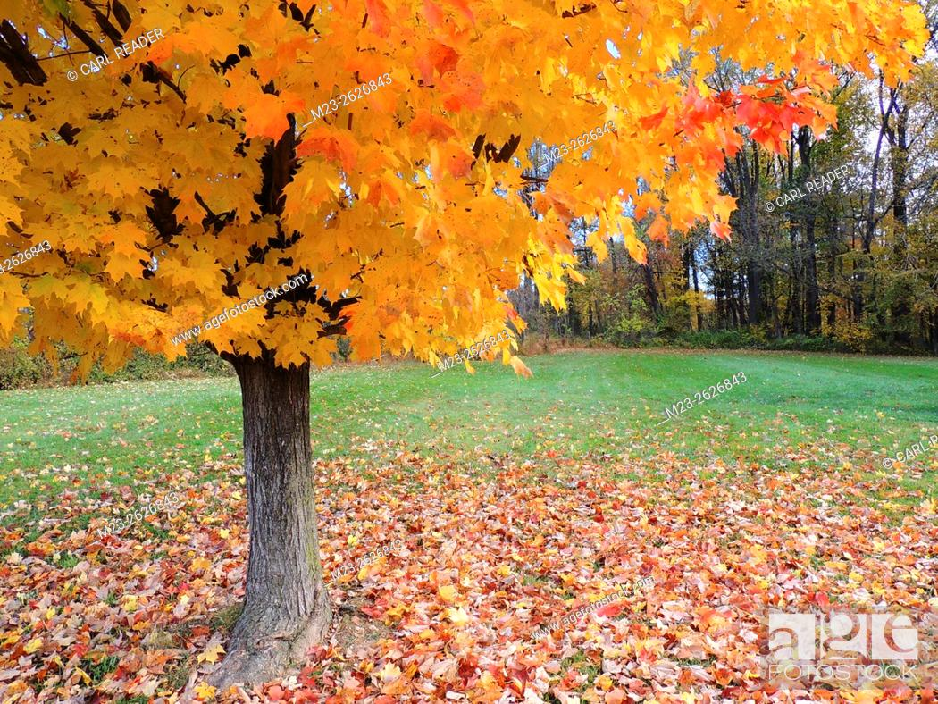 Stock Photo: A maple tree covers the ground around it with colorful leaves but retains many on its branches, Pennsylvania, USA.