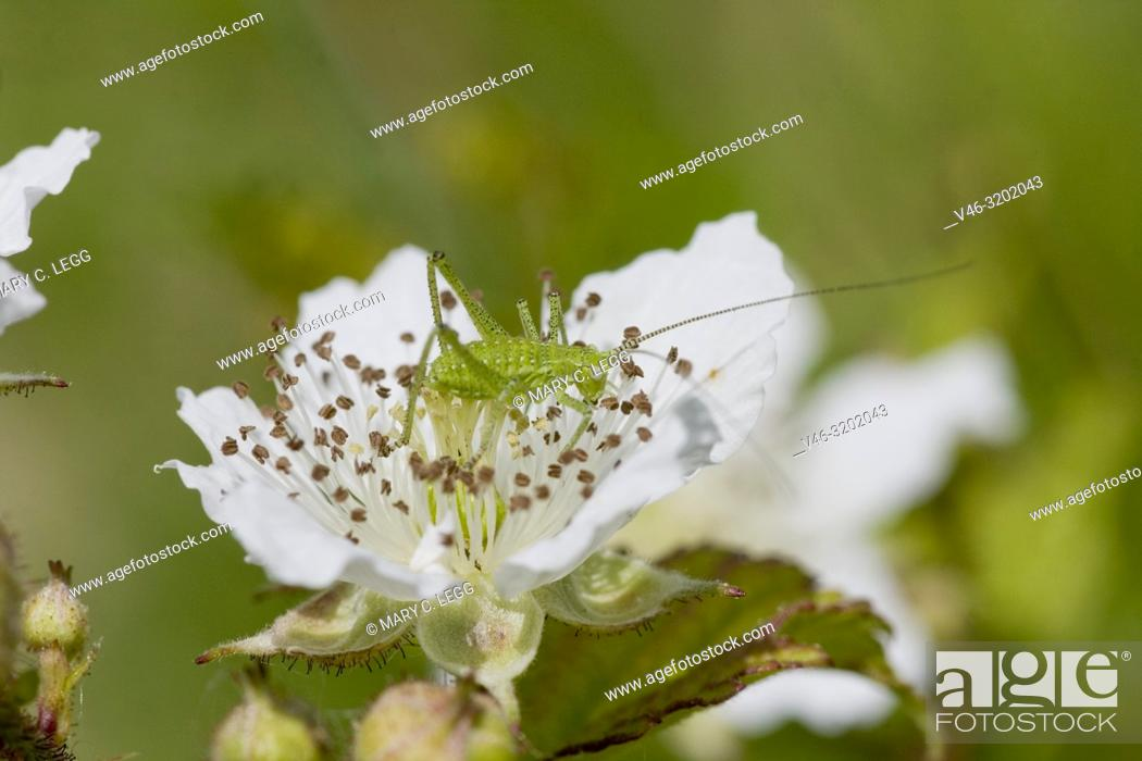 Imagen: Cricket, Leptophyes albovittata on blackberry bramble blossom. Leptophyes albovittata is geen, spiny cricket with lateral white stripes when mature.