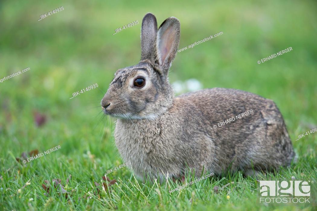 Stock Photo: European Rabbit (Oryctolagus cuniculus), Emsland, Lower Saxony, Germany.