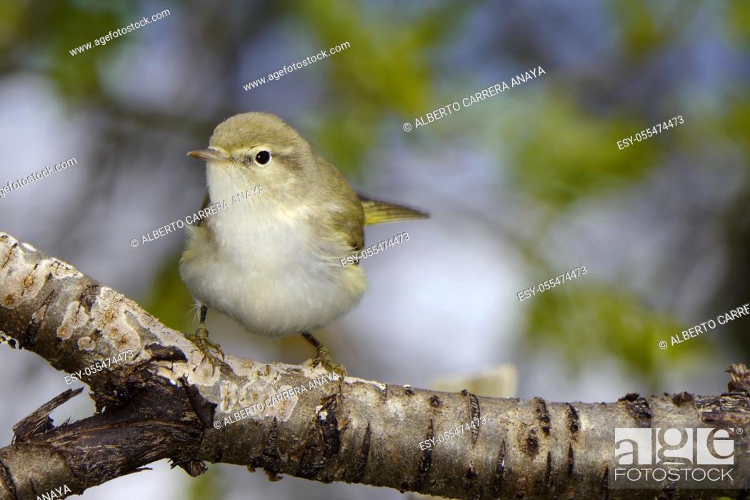 Stock Photo: Common Chiffchaff, Mosquitero común, Phylloscapus collybita, Leaf-warblers, Phylloscopidae, Spain, Europe.
