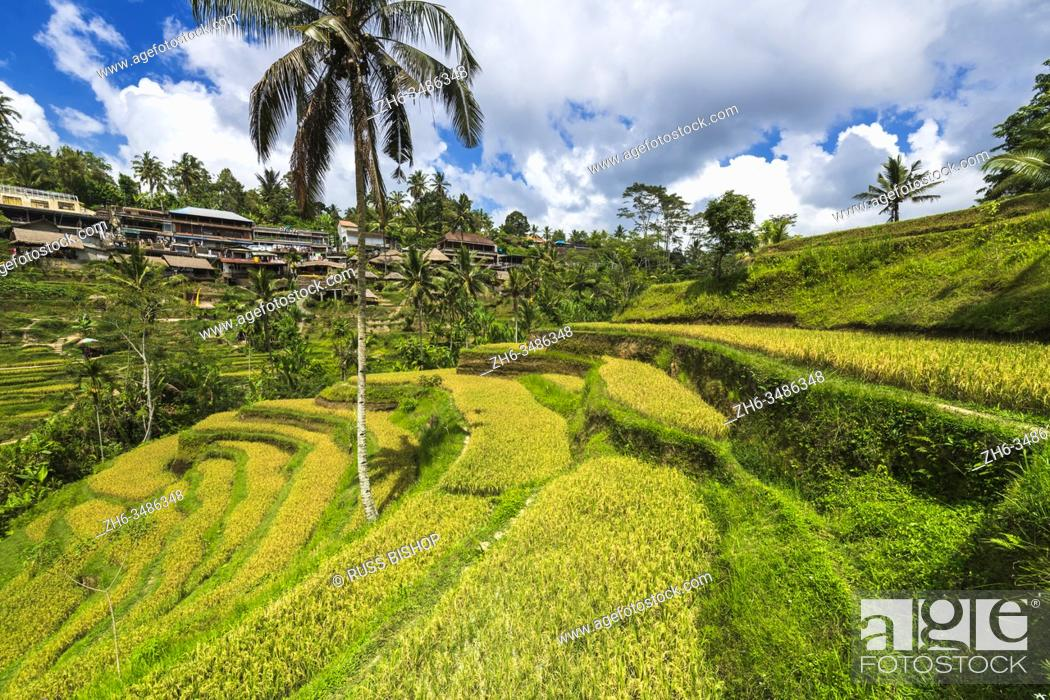 Stock Photo: Rice fields at Tegallalang Rice Terrace, Bali, Indonesia.