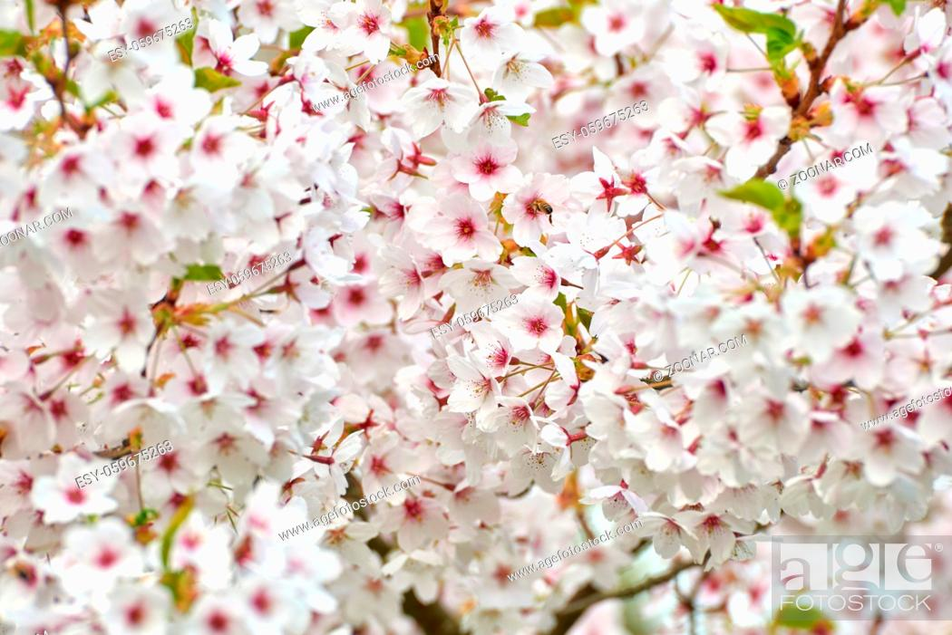 Stock Photo: cherry tree blossoms in april.