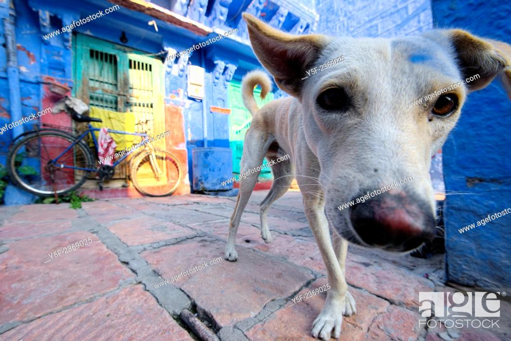 Stock Photo: Stray dog close to a colorful house of Jodhpur.
