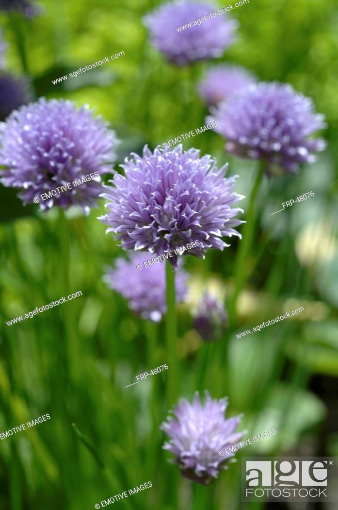 Stock Photo: Blooming chives.