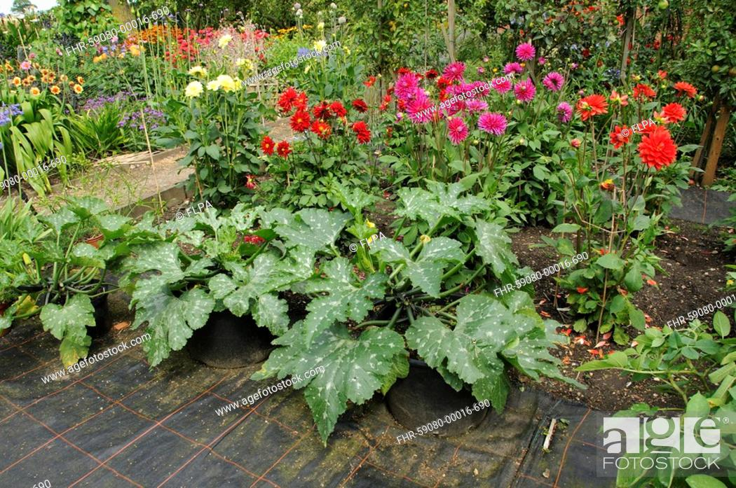 Stock Photo: Courgette Cucurbita sp 'Tuscany', growing in containers on matting, amongst summer dahlia flowers, England, july.