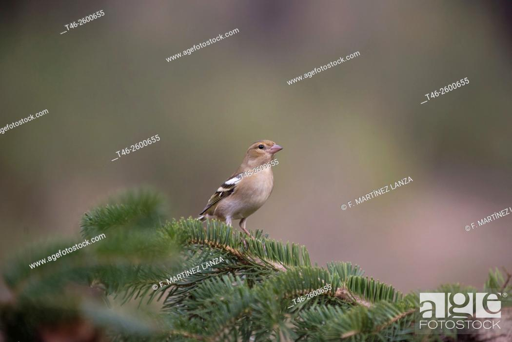 Stock Photo: Female Chaffinch (Fringilla coelebs). Dl photographed in Montilla Palancar Cuenca.