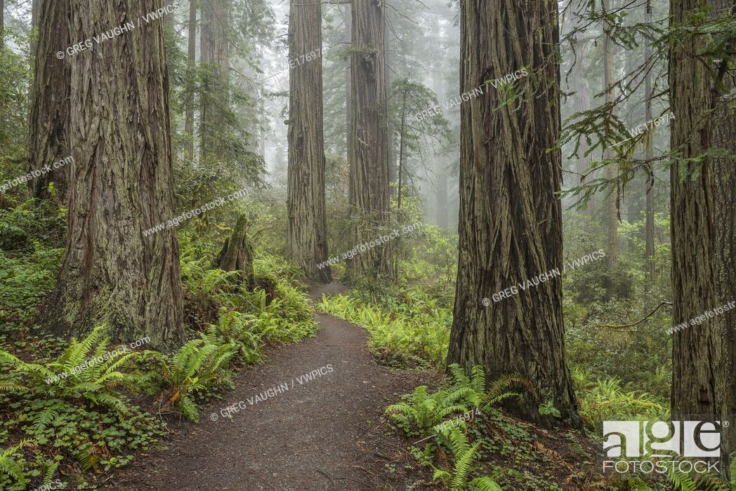 Stock Photo: Trail through Lady Bird Johnson Grove, Redwoods State and National Parks, Calfornia.