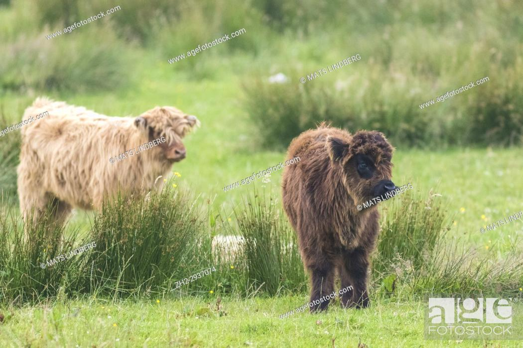 Stock Photo: Two Highland cattle calves, standing and looking away from the camera, Islay, Scotland.