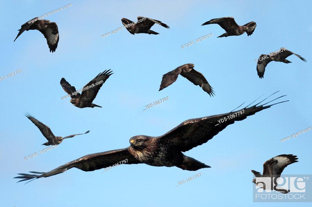 Birds In Flight British Birds Of Prey British Raptors Buteo