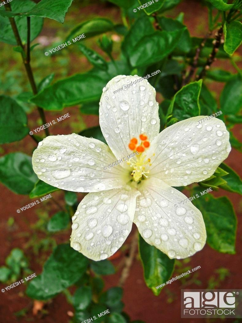 Stock Photo: Hibiscus rosa sinensis, China Rose, Chinese hibiscus, Ratnagiri, Maharashtra, India.