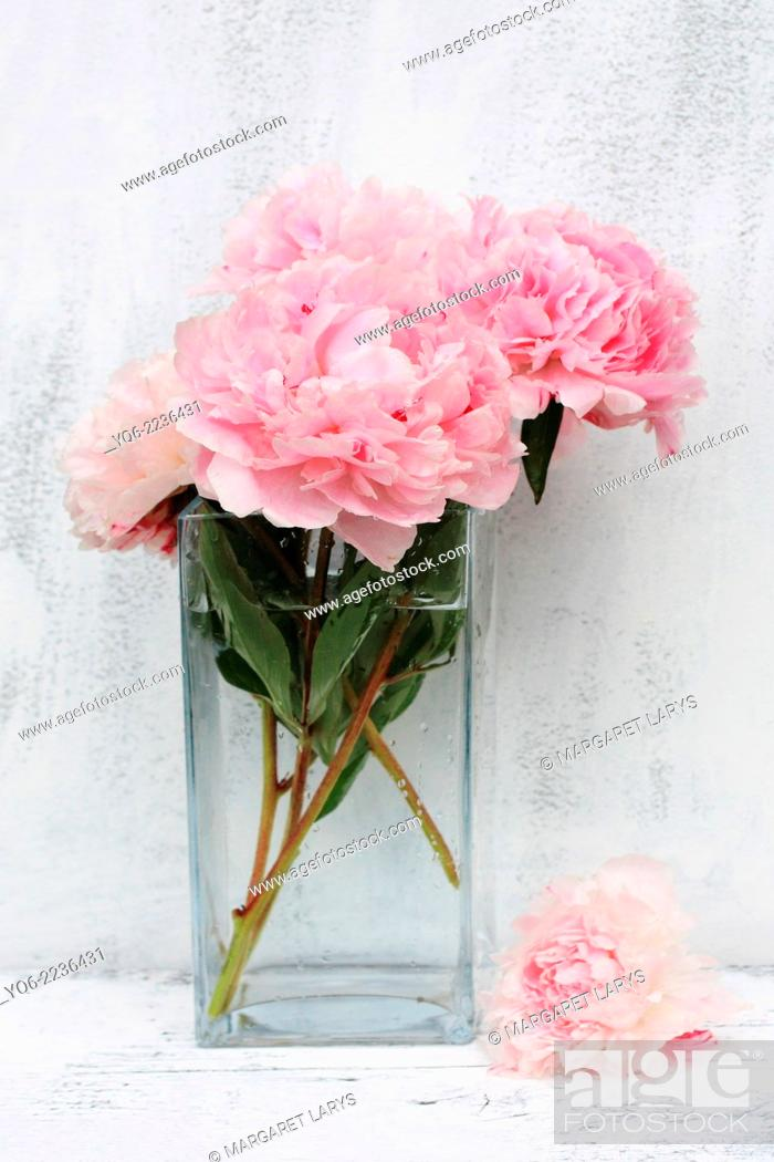 Stock Photo: Beautiful pink peonies on white background, still life.