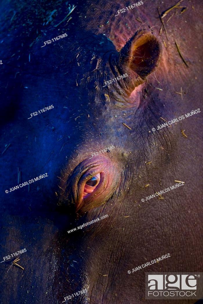 Stock Photo: Hippopotamus (Hippopotamus amphibius), Namibia.