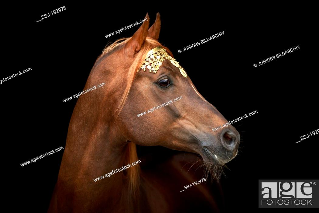 Arabian Horse Chestnut Stallion With Golden Headgear Portrait Austria Stock Photo Picture And Rights Managed Image Pic Ssj 192978 Agefotostock
