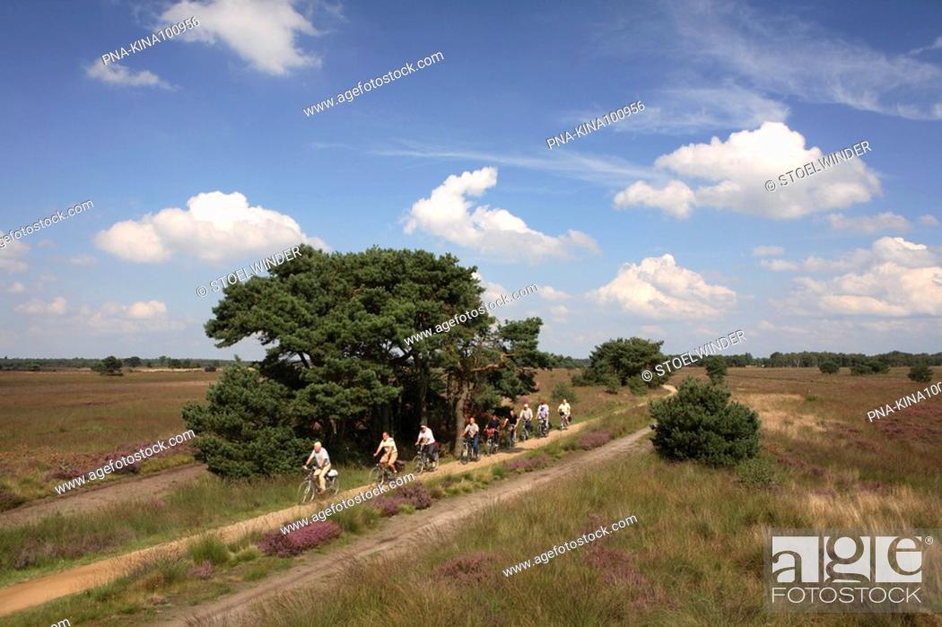 Stock Photo: Heather, Ling Calluna vulgaris - Strabrechtse Heide, Heeze, Campine, North Brabant, The Netherlands, Holland, Europe.