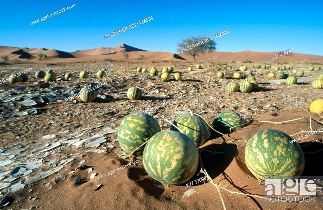 Stock Photo: Tsamma melons (Citrullus ecirrhosus). Sesriem. Namibia.