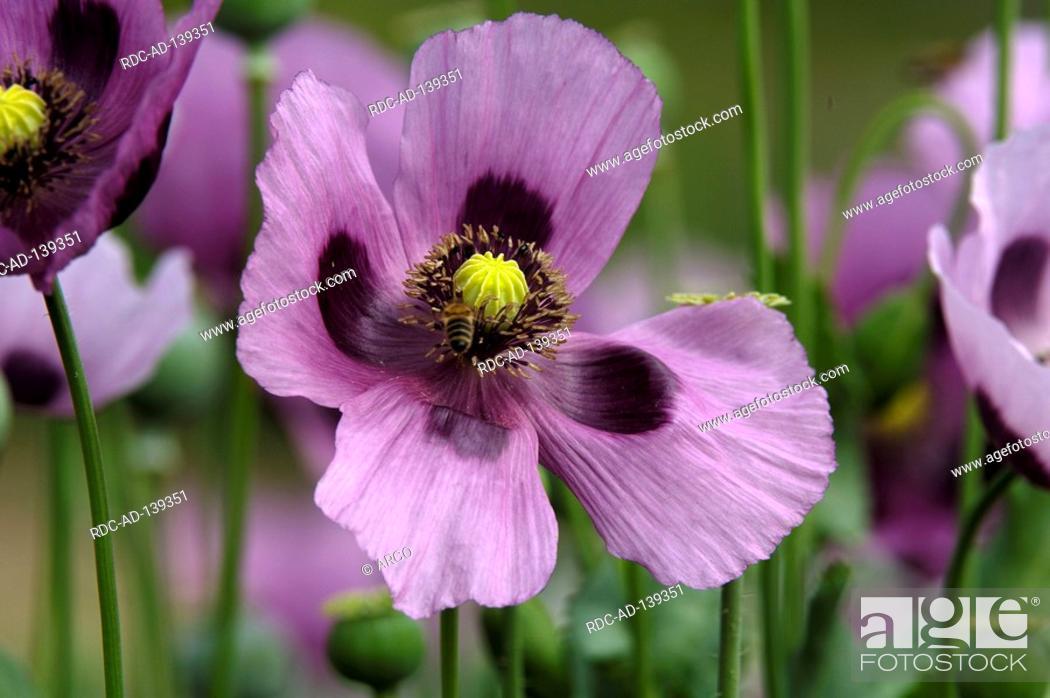 Imagen: Opium Poppy Papaver somniferum.