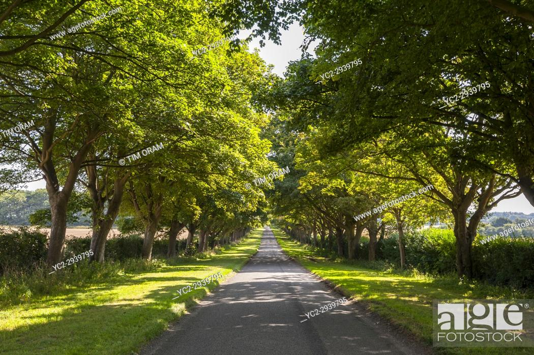 Stock Photo: King's Avenue in Anmer , Norfolk , England , Britain , Uk.