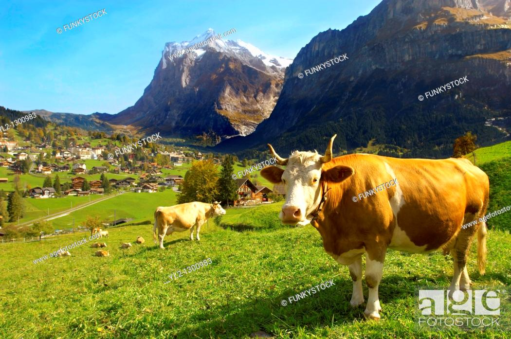 Stock Photo: Milk Cow on Alpine Pasture above Grinderwald - Swiss Alps - Switzerland.