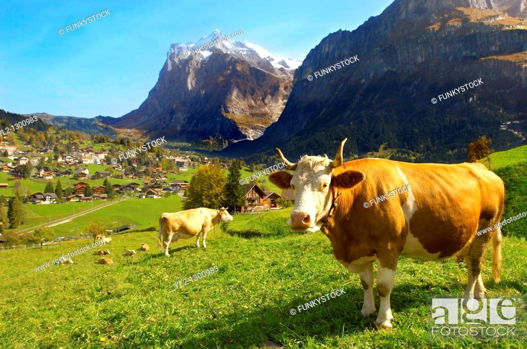 Stock Photo: Milk Cow on Alpine Pasture above Grinderwald - Swiss Alps - Switzerland.