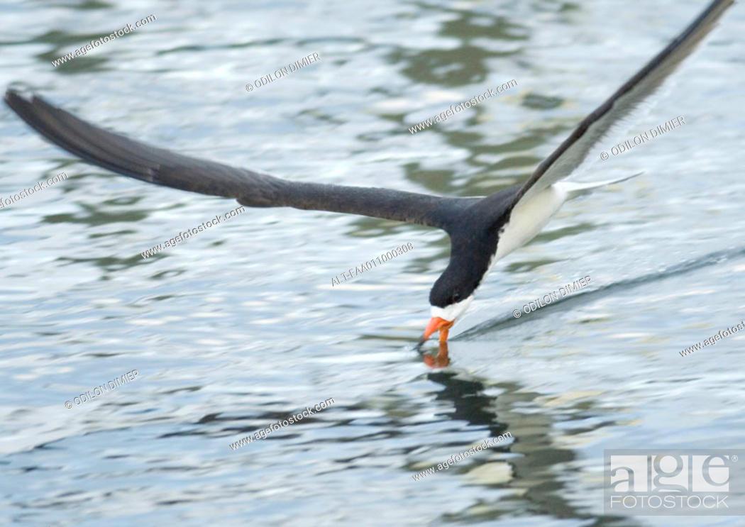 Stock Photo: Black skimmer skimming water.