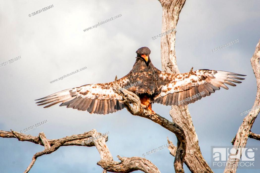 Stock Photo: Bateleur eagle stretching his wings in the Kruger National Park, South Africa.