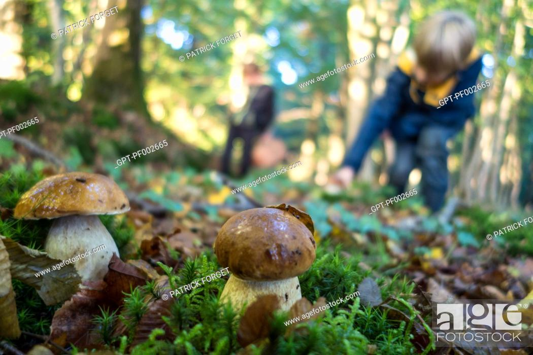 Imagen: GATHERING CEPS OF BORDEAUX (BOLETE), FOREST OF CONCHES, EURE (27), FRANCE.