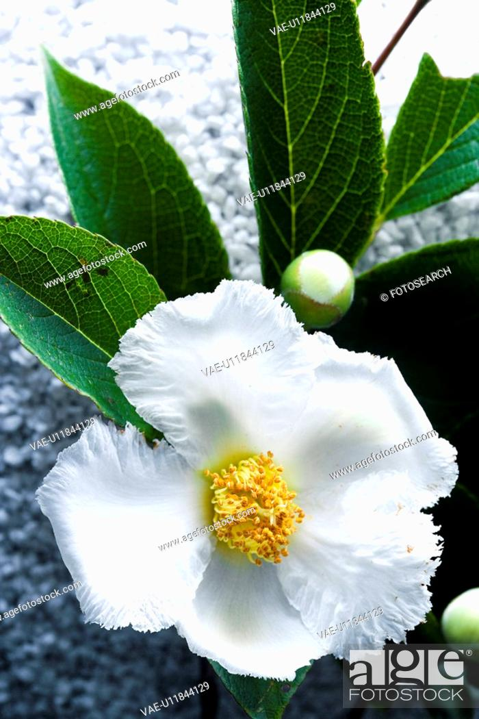 Stock Photo: Stewartia pseudo-camellia.