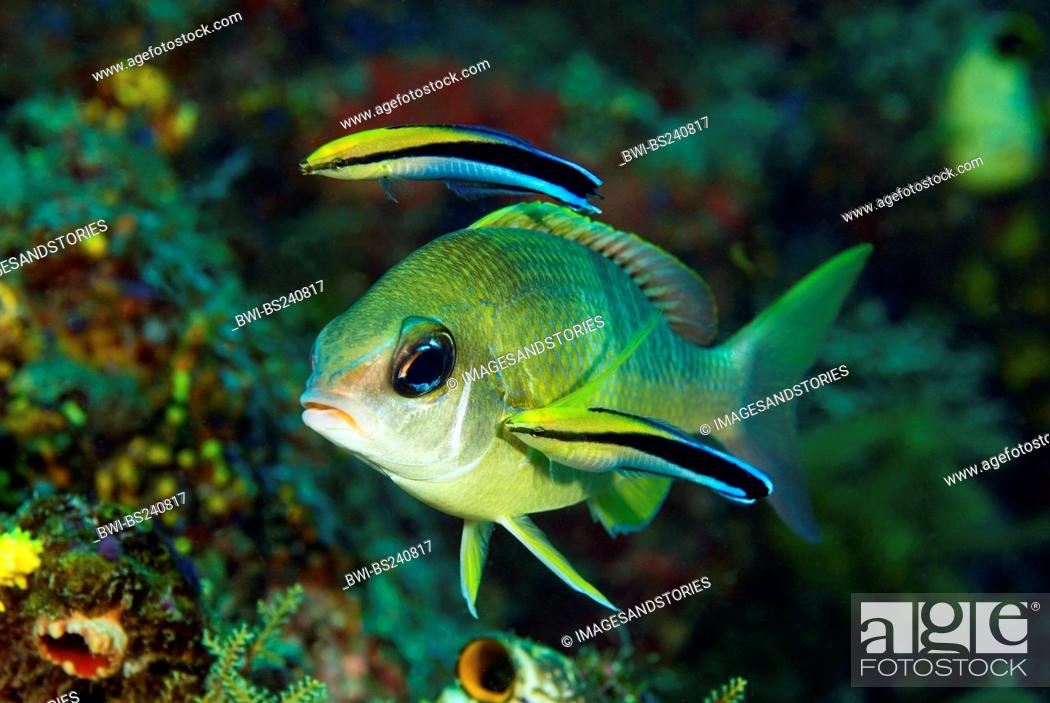 Stock Photo: cleaner wrasse Labroides dimidiatus, cleaning parasites of pearly monocle bream, Scolopsis margaritifer, Indonesia, Komodo National Park.