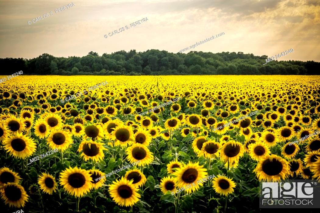 Stock Photo: Field of blooming sunflowers in Loire Valley, France, Europe.