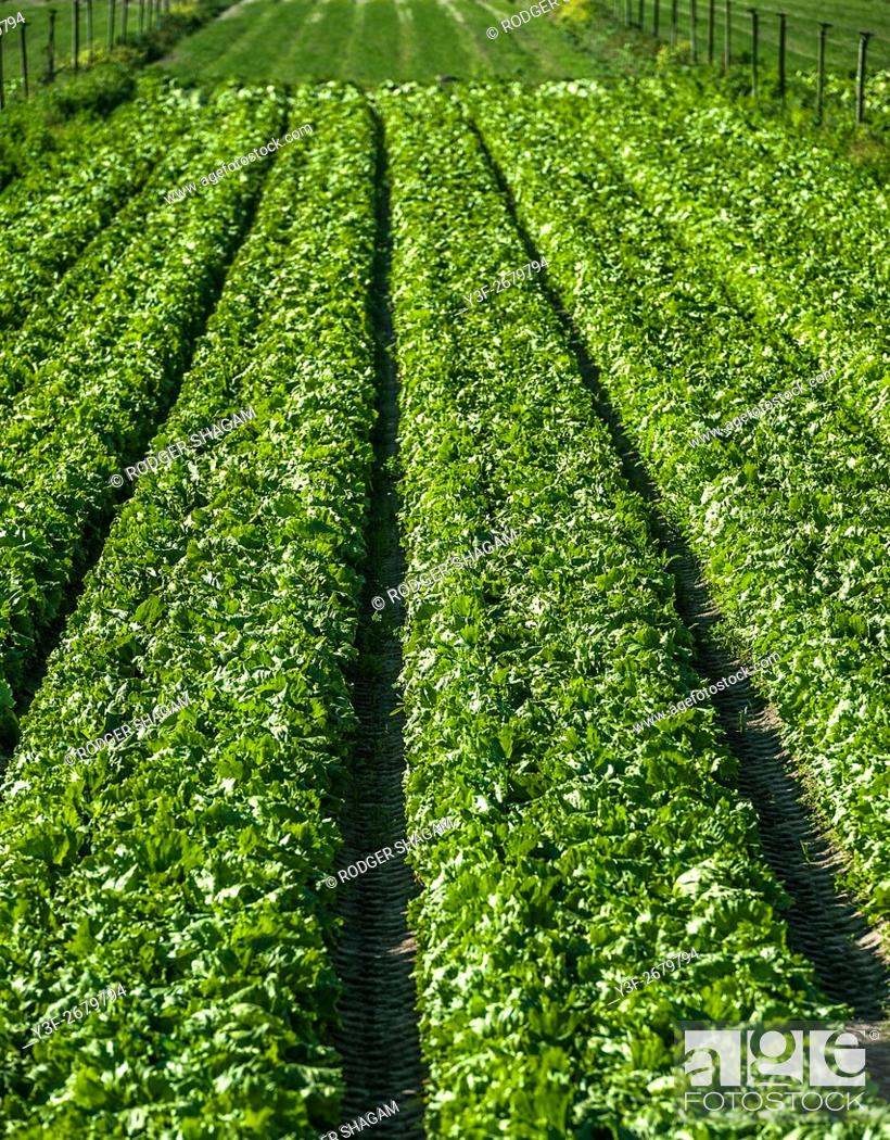 Stock Photo: Vegetable farming. Rows and rows of fresh veggies. Philippi farming area, Cape Town, South Africa.