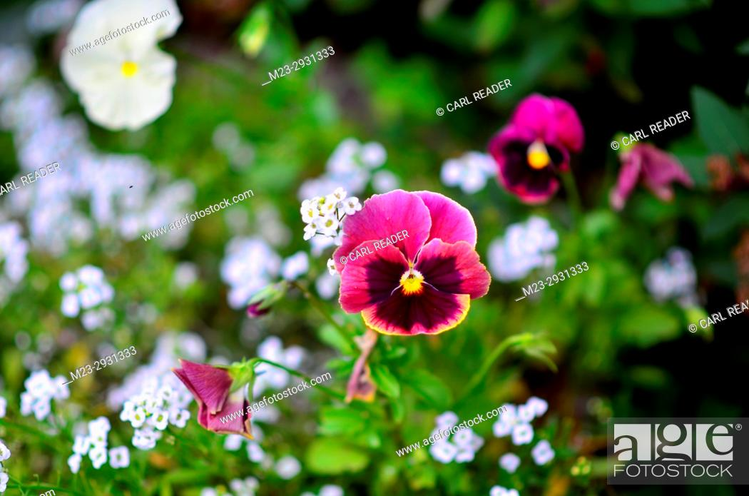 Stock Photo: A petunia in soft-focus with a white background of flowers, Pennsylvania, USA.