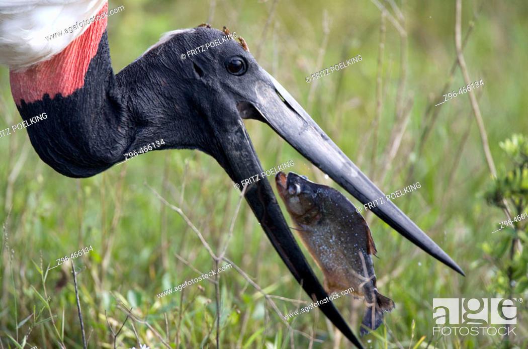 Stock Photo: Jabiru stork (Jabiru mycteria) and Piranha. Pantanal, the world largest wetland, Brazil, South America.