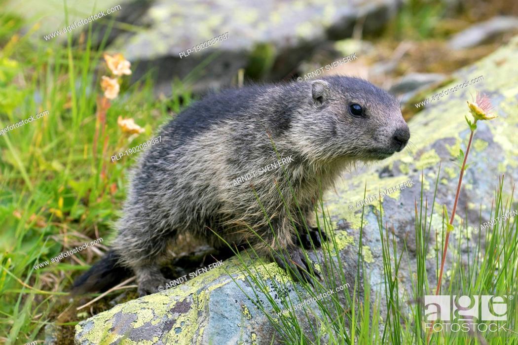 Stock Photo: Alpine marmot (Marmota marmota) juvenile on rock in alpine pasture in summer, Hohe Tauern National Park, Carinthia, Austria.
