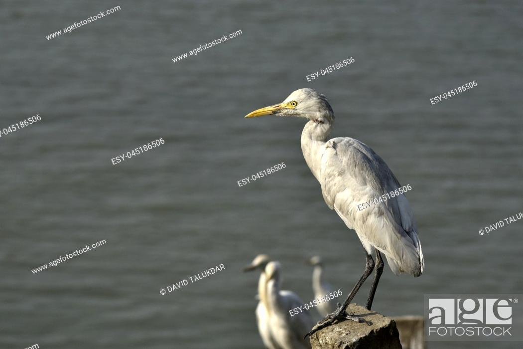 Stock Photo: Egrets in the banks of Brahmaputra river.