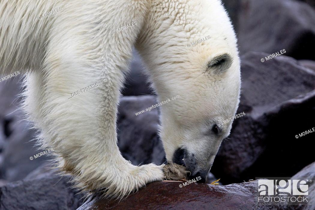 Stock Photo: Norway , Spitzbergern , Svalbard , Polar Bear  Ursus maritimus  on the ground , eating pieces of a Brünnich's Guillemot Uria lomvia ,.