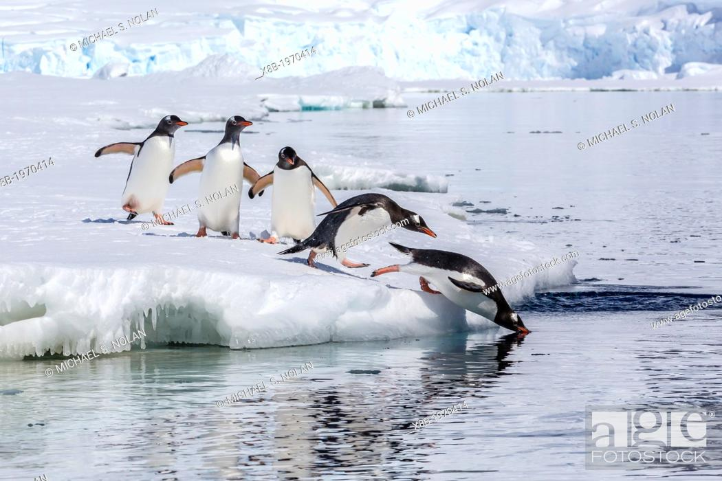 Imagen: Adult gentoo penguins (Pygoscelis papua) leaping into the sea from fast ice near the Enterprise Islands, Antarctica, Southern Ocean.